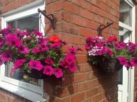 Pink petunias in hanging baskets
